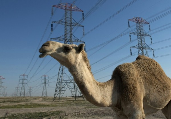 camel-wanders-through-kuwait-power-grids