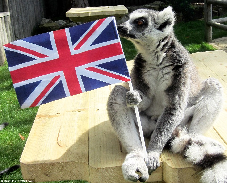 2C1AA04A00000578-3227521-Even_the_lemurs_at_Drusillas_Park_East_Sussex_joined_in_the_cele-a-25_1441806077635