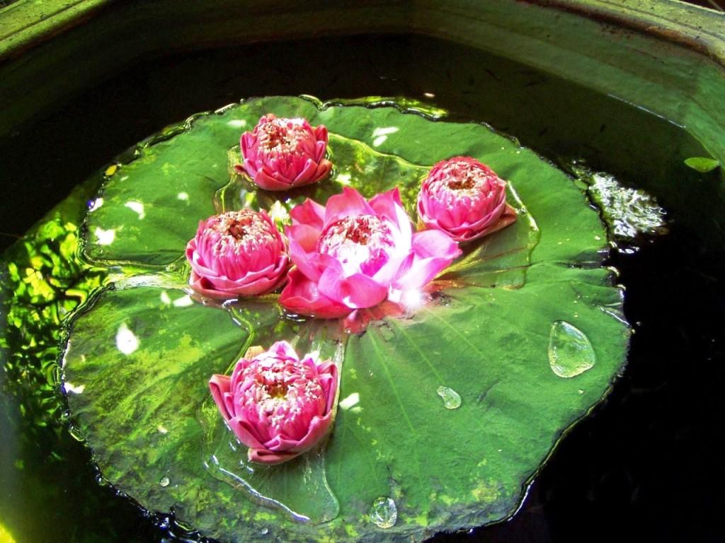 Water_lily_lotus_flower2