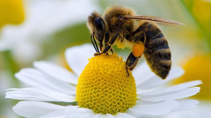 Nicht-nur-Bienen-sind-betroffen-auch-Motten-Wespen-Kaefer-Voegel-und-Fledermaeuse-zaehlen-laut-IPBES-zu-den-Bestaeubern