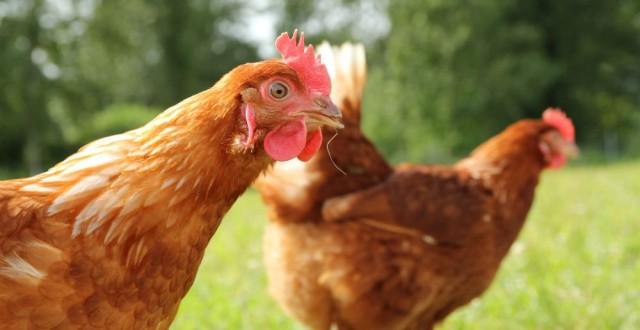rase-de-gaini-pentru-productia-de-oua-640x330
