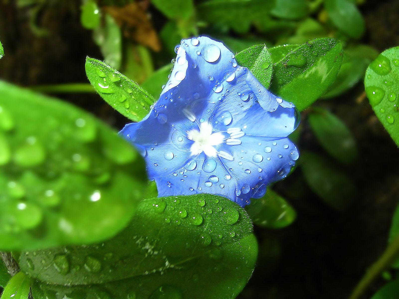 Blue-Flower-After-Rain