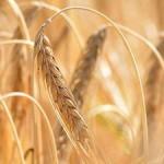Recolte bogate pentru țăranii germani