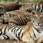 China admite, pentru prima dată, comerţul cu piei de tigru