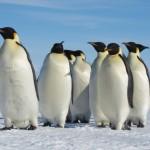 Pinguinii imperiali vor fi introduşi pe lista speciilor pe cale de dispariţie