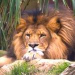 Tolaneala leului insensibil in anul electoral 2014