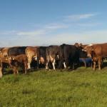 SUA aprobă importurile de carne de vită irlandeză