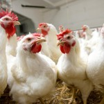 SUA aprobă 330 milioane dolari pentru focarul de gripa aviara la păsările de curte