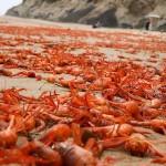 Mii de crabi eșuați în California de Sud