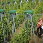 Vinul va avea pe viitor alt gust