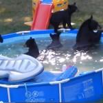 Spectacol inedit in piscina unei familii americane in care a intrat o ursoaica si cei cinci pui ai acesteia