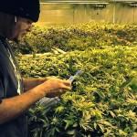 De ce băncile evită afacerile cu marijuana