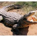 Zambetul zilei! Unguri, un roman si un crocodil