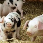 Teapa de 5 mil de euro din fonduri europene cu ferme de porci