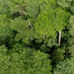 Jumătate din toate speciile de arbori din Amazon sunt ''pe cale de dispariție''