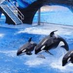 Parcul acvatic SeaWorld renunţă la spectacolele cu ''balene ucigase''