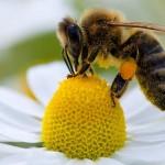 Număr critic al polenizatorilor