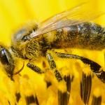 Aldi se fixează pe protecția albinelor