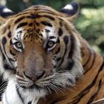 Mai mulți tigri în libertate