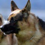 Grecia optează pentru ciobănești germani