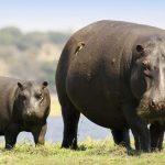 Zambetul zilei! Femela hipopotam