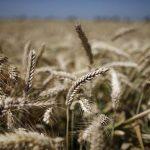 Guvernul federal german vrea să interzică grâul american