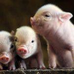 O noua schemă de ajutor de minimis pentru producători mici și medii de carne de porc