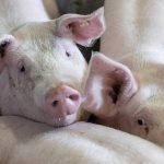 Fermierii recunosc că maltratează animalele