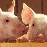 După 70 de ani, România poate să exporte porci vii