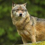 Se răspândesc lupii în Germania