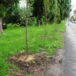 Primaria Oradea a plantat peste 300 de arbori de-a lungul Centurii Oraşului