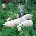 Porcii canadieni sunt răsfățați pentru a satisface apetitul japonezilor pentru carnea de calitate premium