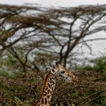 Numărul girafelor scade rapid