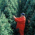 Afaceristi fara minte, mii de brazi nevânduţi după ce comercianţii nu au vrut să scadă preţul nici în ziua de Crăciun