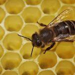 Albinele trăiesc mai bine în orașe