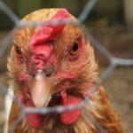 Focar de gripă aviară, confirmat într-o gospodărie din Balta Doamnei, judeţul Prahova