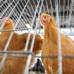 Gripa aviară, confirmată în Prahova
