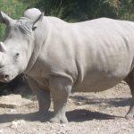 Un parc zoologic din Israel a anunțat nașterea rară în captivitate a unui rinocer alb