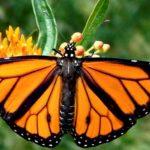 Zidul lui Donald Trump ar putea perturba migrația fluturilor monarh