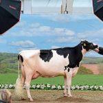 """""""Super-vaca"""" Madame, câștigătoarea unui concurs de frumusețe din Germania vs câștigătoarea de anul trecut — o vacă pe nume Lady Gaga"""