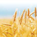 Principalii cumpărători de grâu își cresc producția proprie ceea ce va agrava supraabundența globală