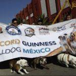 Sute de câini din rasa Bulldog au defilat în Mexic în încercarea de a intra în Cartea Recordurilor