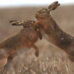 Populațiile de iepuri dăunători din Australia, controlate cu morcovi contaminați de autorități cu un virus letal