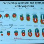 Premieră: Cercetătorii au creat embrioni artificiali de şoarece