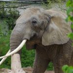 Kenya: Unul dintre cei mai bătrâni și mai mari elefanți africani a fost ucis de braconieri