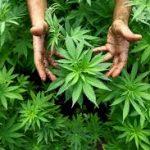 Producție guvernamentală de Cannabis