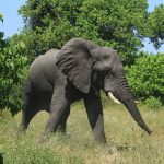 Elefanții dorm doar două ore