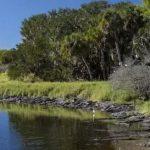 Un fotograf a surprins aproximativ 200 de crocodili strânși în același loc într-un parc din Florida