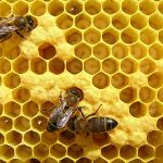 Cea mai nouă afacere în Noua Zeelandă: furatul albinelor