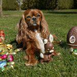 Este ciocolata dăunătoare pentru câini?